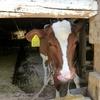 もぐさファームで牛に大興奮の息子♪絶品ジェラートも食べられる♪