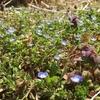 今日の草花 3/31 ~ラボ1畑のオオイヌノフグリ、ヒメオドリコソウ、ホトケノザ、イヌナズナ~
