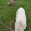 保護子犬ミメと成犬たちのまったりな夕べ