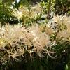 お彼岸に咲く彼岸花(曼珠沙華)を浜寺公園で見物