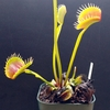 Dionaea 'South West Giant'