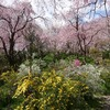 京都)原谷苑の咲き乱れる花々。見頃。