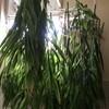 ミョウガの葉・茎ドライ