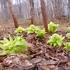 採ってきたフキノトウとクレソンで早春の味覚を満喫した話。