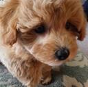 MaruPoo Life マルプー犬モカ
