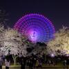 万博記念公園の桜ライトアップにて