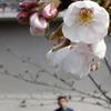 徳島でも23日に桜の開花が発表!!満開は30日頃の予想!!