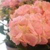 アナベルの白や他の紫陽花も入荷しましたよ♪(∩´∀`)∩