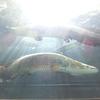 山の中にたたずむ水族館が世界の巨大魚だらけで圧巻だった! 愛媛県松野町「おさかな館」に行ってみたら、巨大なピラルクがいた件。もちろんアカメもいたぞ。