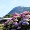 一日一撮 vol.594 久々の青空に紫陽花
