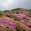 【ミヤマキリシマ】大分県、九重連山平治岳~北大船山に登ってきた