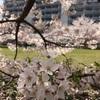 桜から水芭蕉へ