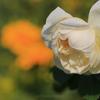 高知県モネの庭『バラ』(1)