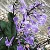 プレクトランサス*モナ・ラベンダーの紫色の美しい花に一目惚れ♡