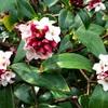 とても中国的な沈丁花(ジンチョウゲ)