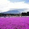 富士山背景に広がるシバザクラ…「期待以上」