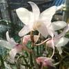 セッコクの花・・・。