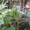 【家庭菜園】今日のオクラ(9回目の収穫、12本目)