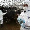 韓国「口蹄疫ワクチン、疎かなマニュアル管理」