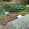 【家庭菜園】芽キャベツの摘葉とカブの間引きと家庭菜園の様子