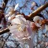 1月の桜?