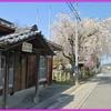 春爛漫桜便り0328