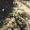 オルレア栽培記録: 直播きした種が発芽