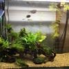 我が家の熱帯魚