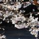 冬桜(後編)