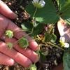お庭の小さな家庭菜園と紫陽花