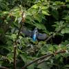 野川で鳥たちの子育てを覗いてきた:カワセミとカルガモの親子たち