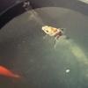 金魚のお引越し完了!