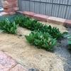 DIY花壇の家庭菜園がそろそろ収穫どき! サラダがたくさん採れました