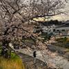 桜の散歩道 No.2