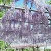 レッドヒル ヒーサーの森 藤のガーデン