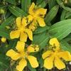 ビョウヤナギとキンシバイの花