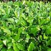 お茶の葉が白く膨らむ病気 『もち病』について