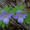 植物と友達になろう! VOL.17 「シラネアオイ」