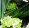 キャベツは全滅、レタスは無事、間違いだらけの家庭菜園で収穫