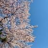 桜を一緒に見れるなんておもわなかった