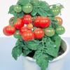 今年のミニトマトはこれに決めた!矮性ミニトマト【レジナ】