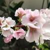 桜が咲きました。     幻の花   『久米の桜』