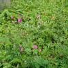 「カラスノエンドウ」は春の美味しい雑草です