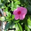 ベランダガーデニングの花たちはたくましい!日日草も次々に開花♪