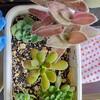 🌵多肉植物  秋の植え替え作業⑨🌵