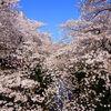 中目黒の桜とスターバックス