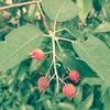ジューンベリーが収穫できました!