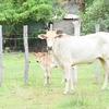【カンボジア女子一人旅】村で出会った動物たち♪♪