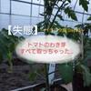 トマトのわき芽~すべて取るべき?それとも...?~ベジヲタ畑 Day33
