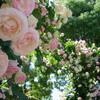 須磨離宮公園でバラを見てきた